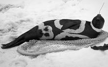 Loài hải cẩu quý hiếm có bộ lông như lai giống với ngựa vằn