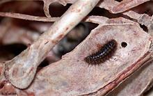 """Các loài côn trùng """"ăn xác chết"""" khiến bạn dựng tóc gáy"""