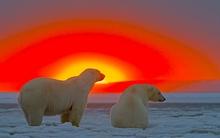 Chùm ảnh sống động của loài gấu trắng Bắc Cực trong khung cảnh hoàng hôn