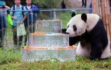 Đây là anh hùng lực lượng sinh sản nhà gấu trúc, một mình cứu cả loài khỏi tuyệt chủng
