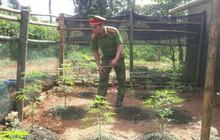 Phát hiện một người dân ở Quảng Trị trồng cần sa trong vườn nhà