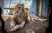 """Khung cảnh bên trong """"Sở thú địa ngục"""" tại Albania: Sư tử nằm thẫn thờ chờ chết, sói ốm yếu co ro"""