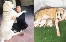 """Chó bố nặng gần 90 kg và đàn chó con hiếm """"gây sốt"""" mạng xã hội Việt"""