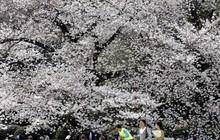 Nhật Bản: Thời tiết khác thường khiến hoa anh đào nở sớm?