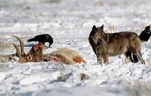 Chỉ từ 14 con sói, cả một công viên quốc gia đã thay đổi theo cái cách đáng mừng nhất thế kỷ