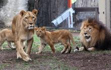 Bi kịch trong sở thú: Sư tử cái tự dưng cắn chết sư tử đực dù đã có với nhau 3 mặt con
