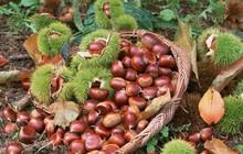Thời điểm này, có một món ăn vặt ở Cao Bằng đang vào mùa được chị em khắp nơi săn lùng