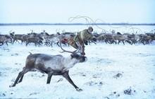 Những khoảnh khắc đời thường của Nenets: Bộ lạc du mục chuyên ăn thịt sống, uống máu tuần lộc