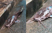 """Hình ảnh con cá trê dài cả mét, """"xấu phát hờn"""" khiến cả xóm chẳng ai dám ăn gây xôn xao"""
