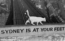 Câu chuyện về 2 chú mèo trắng từng bá chủ trên cầu cảng Sydney hơn 50 năm trước