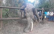 Tìm cách trèo qua hàng rào đi kiếm ăn, chú voi mắc kẹt hy hữu rồi chết ngạt