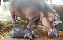 Hà mã con đầu tiên sinh tại khu du lịch sinh thái Vườn Xoài