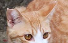 Đằng sau những con mèo bị bấm cụt tai là câu chuyện cảm động về cách người Nhật đối xử với chúng