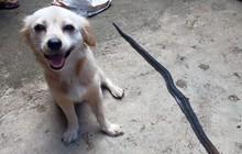Cô chó dũng cảm cắn chết rắn hổ mang để cứu chủ, nở nụ cười trước khi hi sinh khiến ai cũng phải xúc động