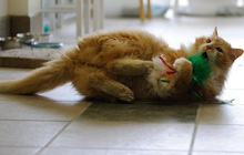Sau khi bị đem cho, chú mèo vượt qua 12km tìm về với chủ cũ chỉ để bị ruồng bỏ lần 2 còn đau lòng hơn