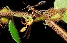 Rùng rợn với chiếc bẫy như thời Trung cổ của loài kiến nhỏ, xẻ thịt con mồi to gấp 50 lần