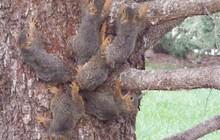 Phát hiện ra sáu con sóc bị buộc đuôi vào nhau, giống hệt với huyền thoại Rat King - Vua Chuột trong lịch sử loài người