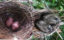 Thấy trong sân nhà có tổ chim, người phụ nữ kiên nhẫn chụp ảnh từ lúc là quả trứng cho tới khi thành bầy chim non xinh xinh