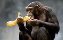 Bộ não con người phát triển hơn nhiều loài động vật khác là nhờ ăn cái này đây