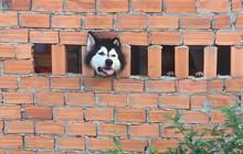 Thánh ngáo Husky mải hóng hớt rồi mắc kẹt khiến con sen muốn giải cứu chỉ có nước phá tường