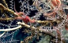 """Phát hiện khu """"rừng san hô"""" bí ẩn hơn 1000 tuổi, sâu 2.300m dưới đáy biển"""