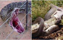 """Trông thì nhỏ con vậy mà rắn lại sở hữu 1 thứ có thể nuốt mồi """"khủng"""" ngon lành"""