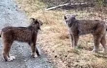 2 con linh miêu siêu hiếm kêu gào như người gây bão mạng xã hội nhưng bí mật phía sau là gì?