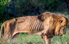 Ám ảnh giây phút cuối đời của chú sư tử Nam Phi kiệt sức vì bị bỏ đói