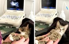 Con boss mèo bỗng nổi tiếng trên MXH vì biểu cảm khó đỡ khi biết mình đang mang bầu