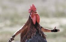 Các nhà khoa học Mỹ đã chế tạo ra tế bào nửa người nửa gà, chưa kịp vui thì đã hứng cả rổ gạch đá