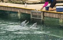 Sự thật đau lòng phía sau dịch vụ bơi cùng cá heo tại các thiên đường du lịch nhiệt đới