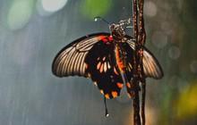 Tò mò chút: Mỏng manh như cánh bướm, số phận chúng sẽ ra sao khi cơn mưa tới?