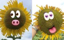 Thanh niên trồng nhầm hướng dương có gene của lợn, lúc ra hoa toàn bông béo múp như cái súp lơ