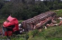 Tài xế điếng người khi xe chở 120 con lợn bị lật, người dân ùn ùn chạy ra hôi của