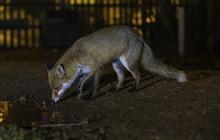 Ngày càng nhiều loài động vật sống về đêm xuất hiện nhưng lý do thực sự đáng buồn