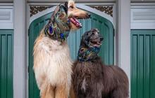 Những hình ảnh cực kỳ dễ thương của các cặp đôi chó trên thế giới
