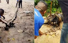 Thái Lan: Dân làng tụ tập giải cứu chó nhà khỏi trăn lớn kịch tính như trong phim