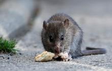 Chuột to như mèo hoành hành, chính quyền thành phố phải phát cảnh báo
