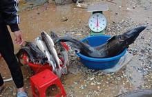 Lai Châu: Cá tầm giống được rao bán đầy đường như bán rau sau trận lũ lớn