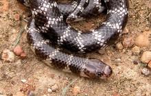 Các nhà khoa học tình cờ phát hiện ra loài rắn mới độc kinh hoàng chỉ sống ở Úc