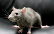 Hợp chất có trong rau và thuốc hóa trị làm chậm quá trình lão hóa, giúp chuột tăng được 36% tuổi thọ