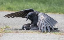 """Phát hiện kinh dị về """"chuyện ấy"""" của loài quạ: sẵn sàng với cả xác chết"""