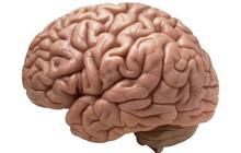 Nghiên cứu không cần thực hiện cũng đoán ra được: não người có nếp nhăn là vì con người thông minh