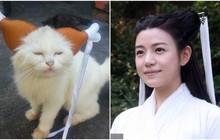 Khi mèo cũng cosplay: Nhan sắc hao hao Tiểu Long Nữ, thần thái liên tưởng tới Điêu Thuyền