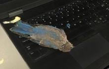 Đang yên đang lành, con chim bỗng bay vèo qua cửa sổ, đi nặng lên laptop của một redditor rồi lăn ra chết