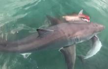 Kinh hãi cảnh cá mập tranh xác cá heo