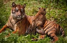 Tin mừng với thế giới: Hổ Nepal đang hồi sinh, số lượng tăng gấp đôi chỉ trong chưa đầy 1 thập kỷ