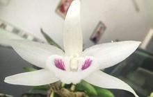 Câu lạc bộ hoa lan đột biến sông Hàn trưng bày gốc lan được mua với giá gần 7 tỉ đồng