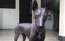 Cư dân mạng phát sốt với chú chó nhẵn thín không tì vết như một pho tượng đồng