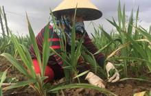 Hoa lay ơn chết hàng loạt trước Tết, nông dân mất ăn ngủ